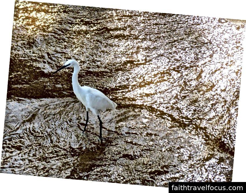 Little Egret | Nhật Bản | 2013