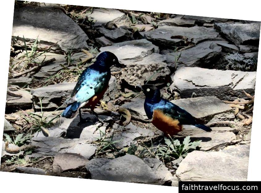 Starlings tuyệt vời | Serengeti, Tanzania | 2015