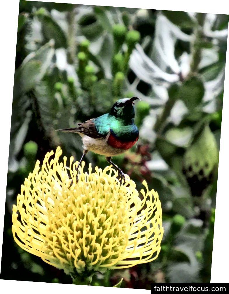 Chim sẻ đôi miền Nam | Nam Phi | 2015