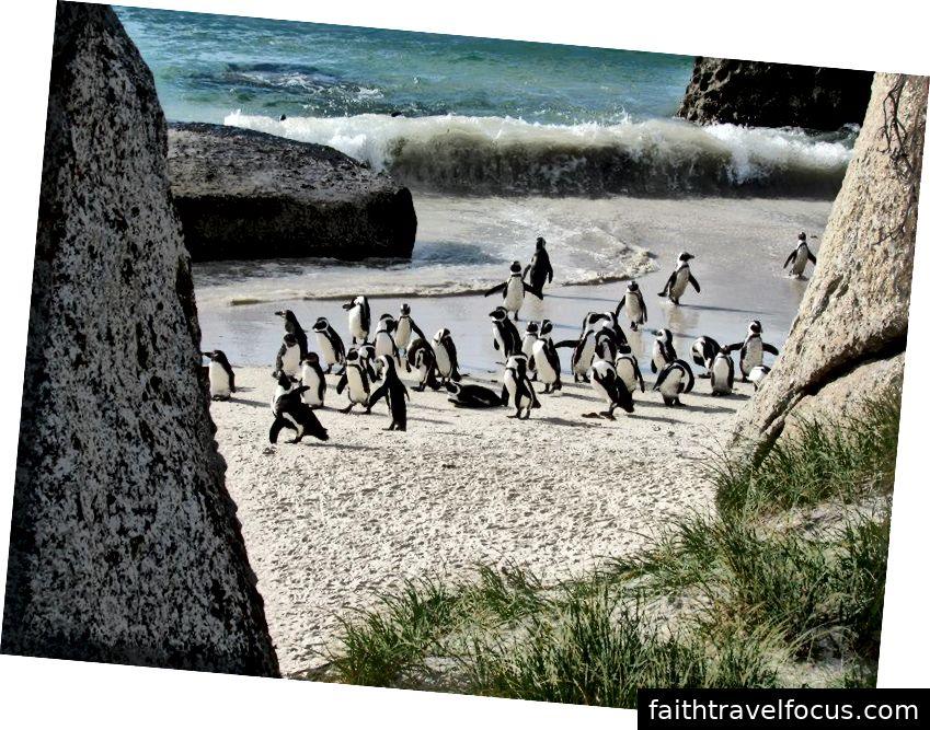 Chim cánh cụt châu Phi | Bãi biển Boulder, Nam Phi | 2015