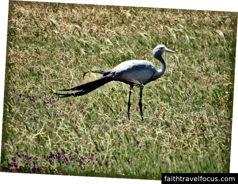 Cẩu xanh | Nam Phi | 2015