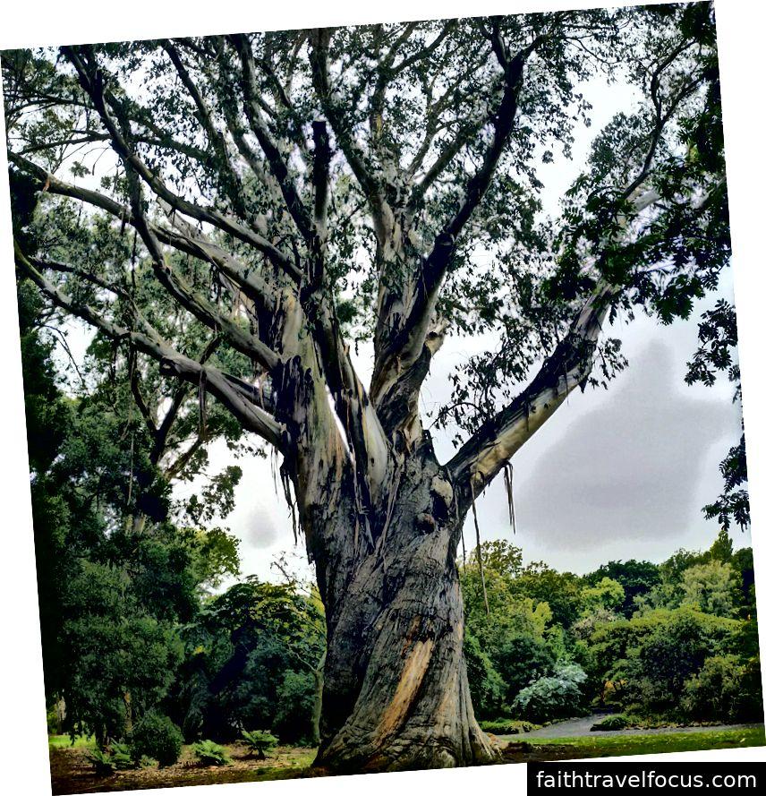 Một cây bạch đàn khổng lồ, xoắn