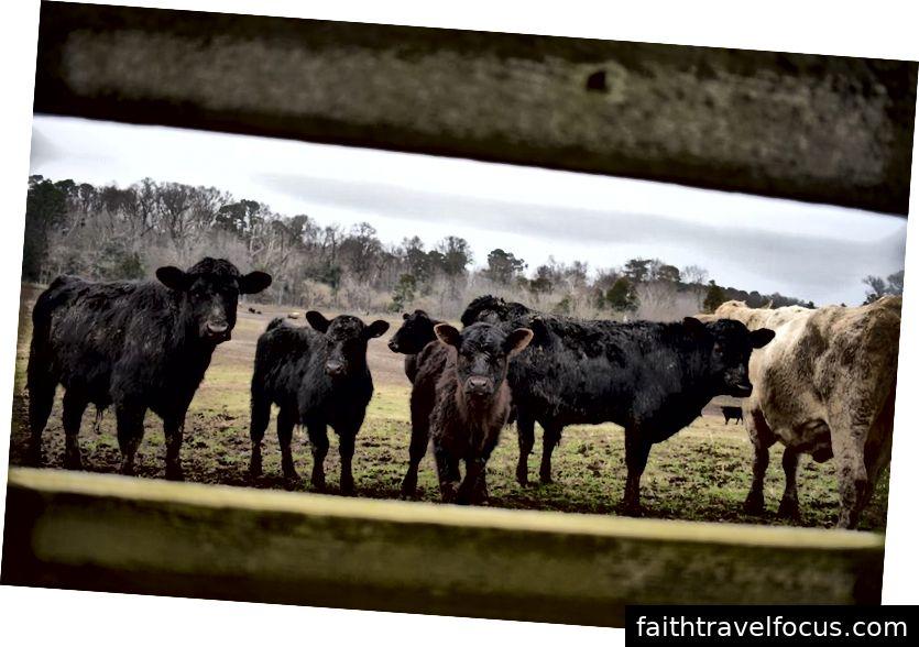 Những con bò ở ngoài nhà chúng tôi ở