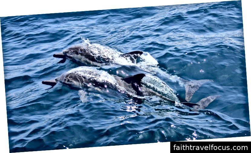 Cá heo safari ở Goa