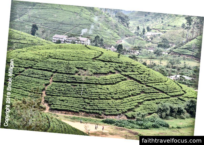 ruộng bậc thang cây trà từ xa