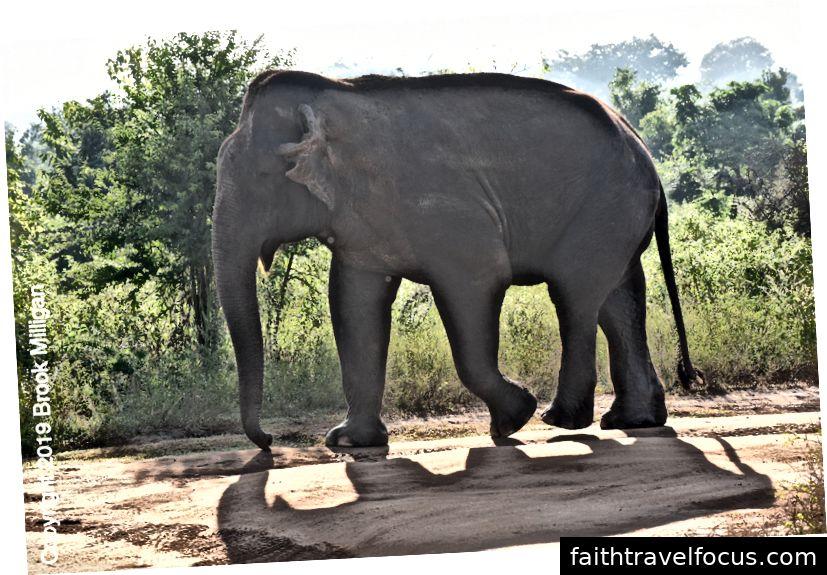 Chúng tôi đã thấy nhiều con voi từ xe jeep của chúng tôi. Một nữ gọi là nam. Khi anh đến, chiếc xe jeep rất tôn trọng không gian cho con voi đực. Các trình điều khiển đều rất lão luyện ở đảo ngược.