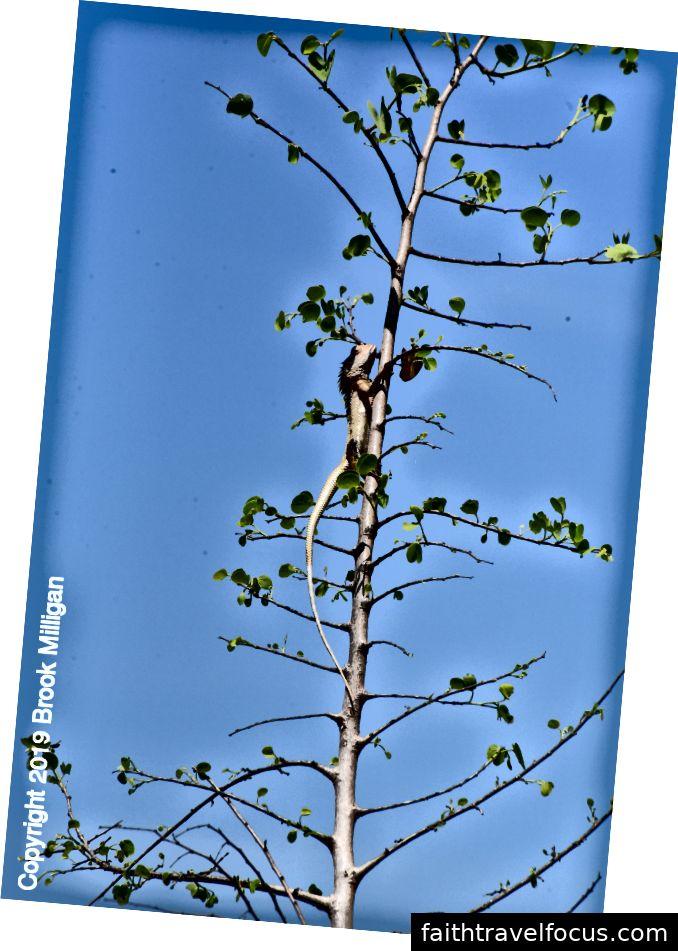 Thằn lằn rồng trong một cái cây. Vì một số lý do, tôi đã gặp khó khăn nhất khi nhìn thấy con thằn lằn này!