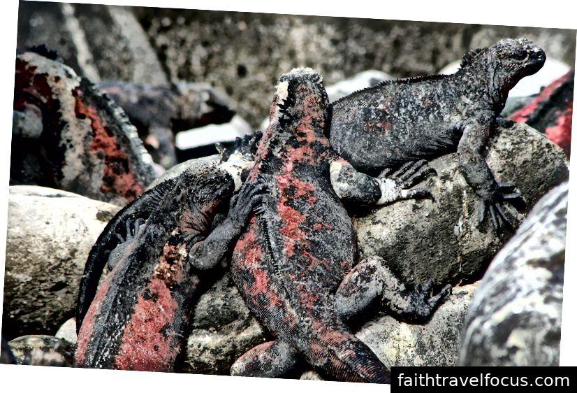 Những con cự đà biển của quần đảo Galapagos (Ảnh của Melanie Votaw)