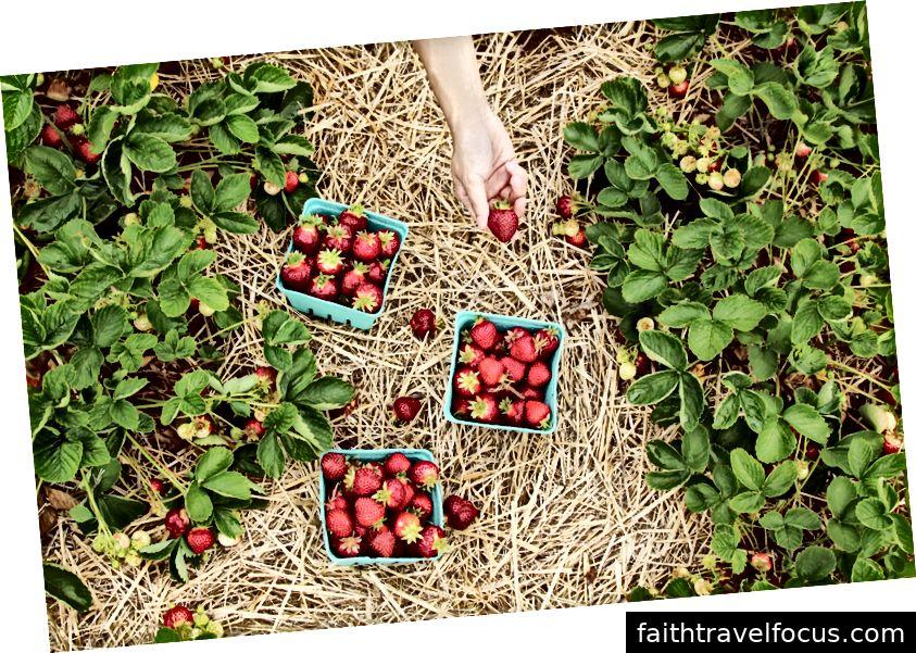 La cueillette de fraises fait partie de nos traditions familiales annuelles. C'est plus la tradition que les fraises. Photo de Farsai Chaikulngamdee sur Unsplash.