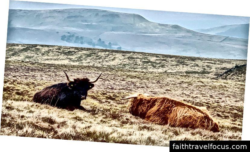 Hawesに向かう途中のハイランド牛。