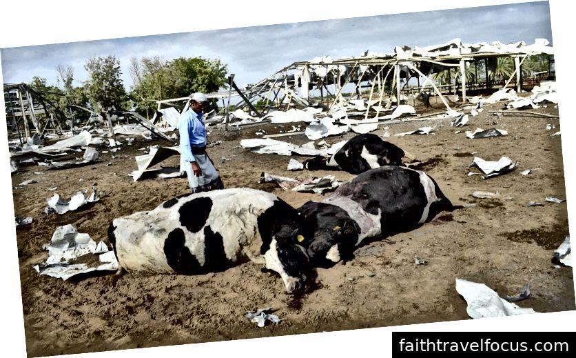 Un bărbat se uită la vacile ucise de un avion din Arabia Saudită pe o fermă de produse lactate din Bajil, în provincia de vest a Yemenului. Abduljabbar Zeyad   Reuters