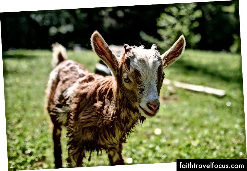 Ова млада коза била је узбуђена што се играла након освежавајућег залетавања у локални ток. Фујифилм Кс-Про 2 + КСФ 23мм: 1/6400 @ ƒ / 1.8, ИСО 400