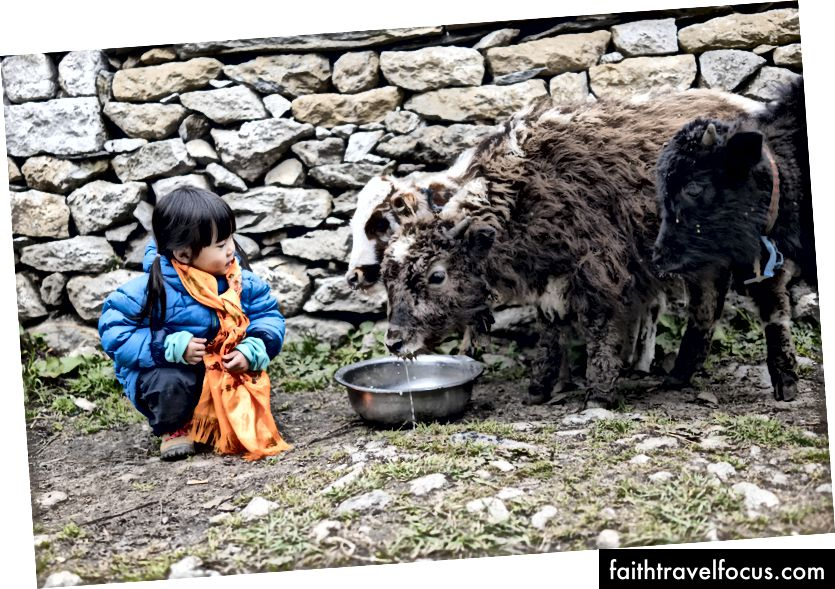 Little Chow mag eten en communiceren met een aantal babyjaks in Pangboche, een dorp op 4000 meter boven zeeniveau. Dit is mogelijk een van haar hoogtepunten van de reis.