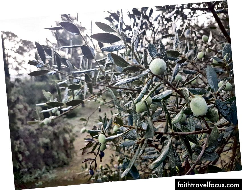Pokok Zaitun di Provence