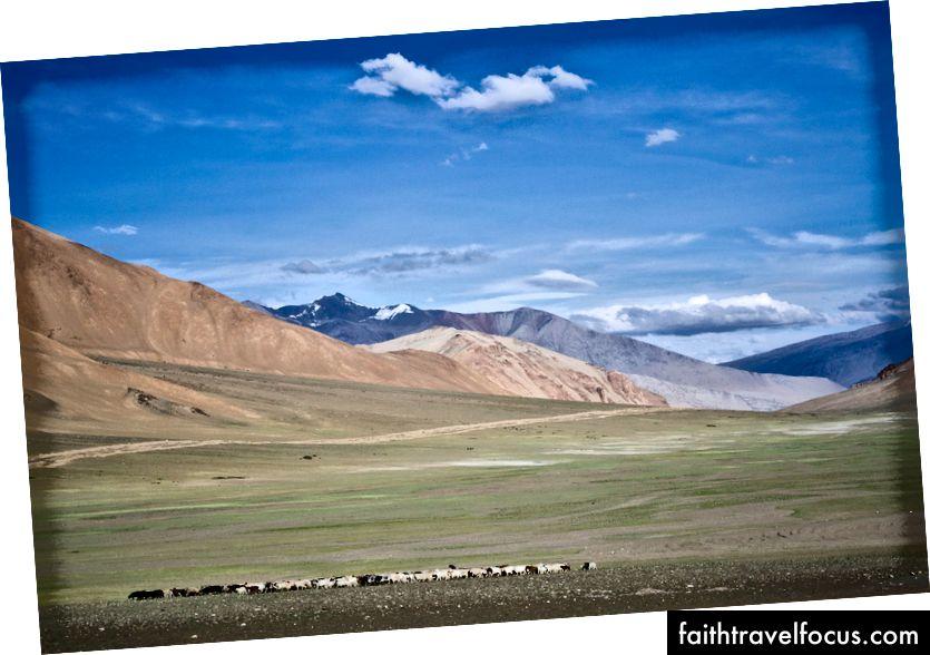 คนเลี้ยงแกะและปศุสัตว์ใกล้ Debring, More Plains Ladakh, India