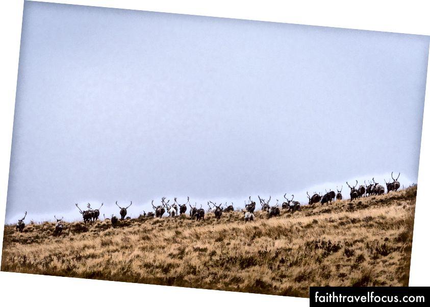 Một đàn tuần lộc tụ tập gần Nikolski, quần đảo Aleutian, Alaska.
