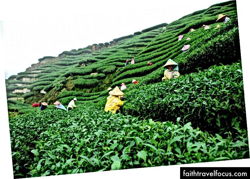 Vườn trà, Assam