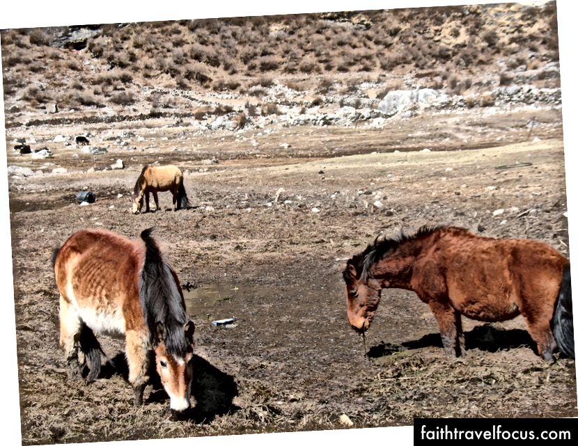 Kone v dedine New Langtang
