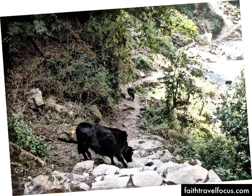 Iba niektoré zvieratá blokujú chodník s ostrými rohmi