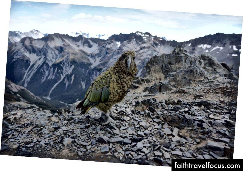 Loài vẹt này chào đón chúng tôi là đỉnh núi ở New Zealand, được gọi là đỉnh Avalanche Đỉnh.