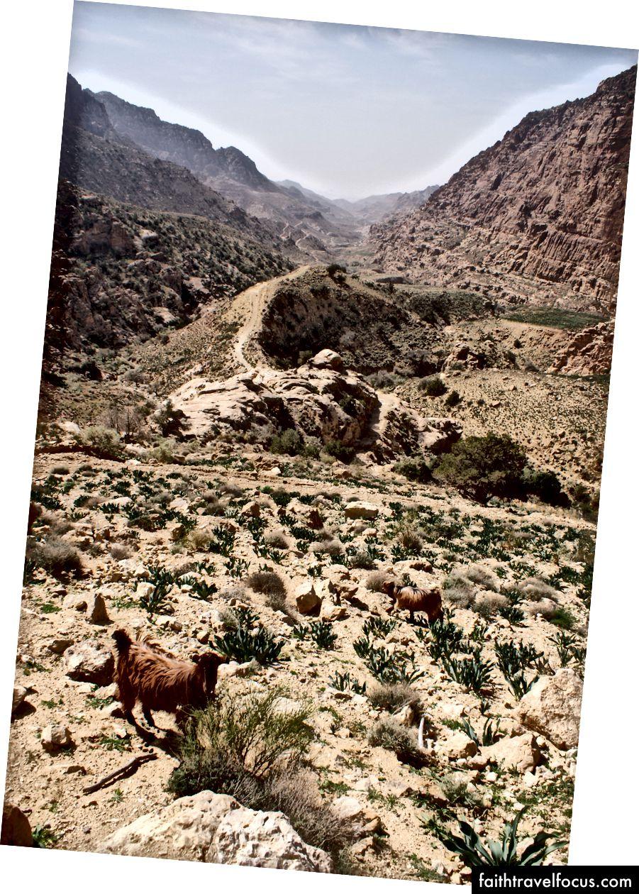 Dê gặm cỏ trên sườn núi ở đầu Wadi Dana.