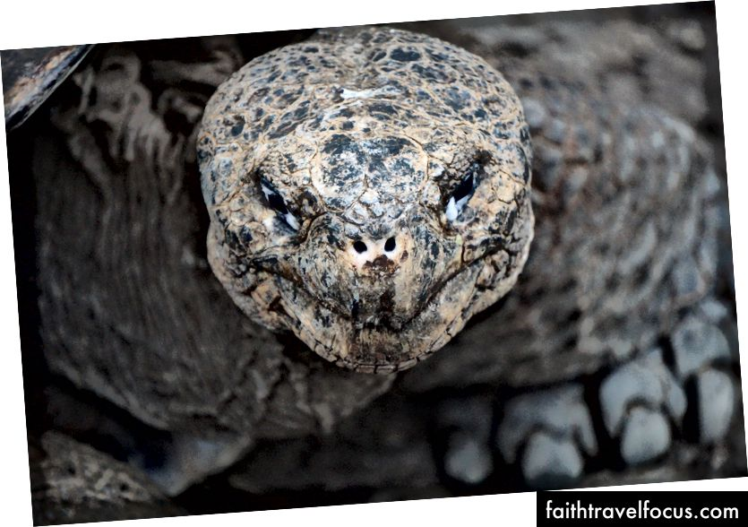 Гігантська черепаха Галапагоса дивиться прямо на мене