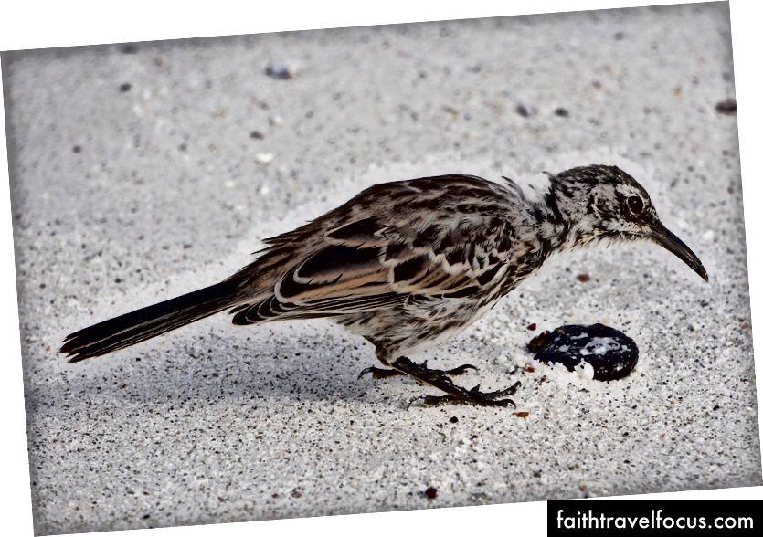 повністю безстрашний глузливий птах Espanola - сантиметри від мене