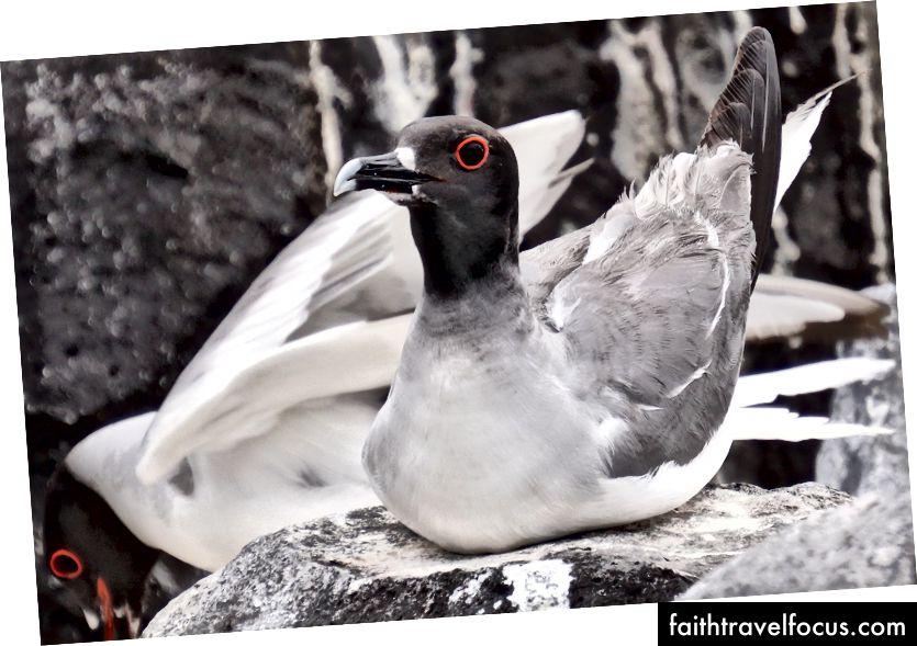 Чайка-ластівка з червоними очима нічного бачення