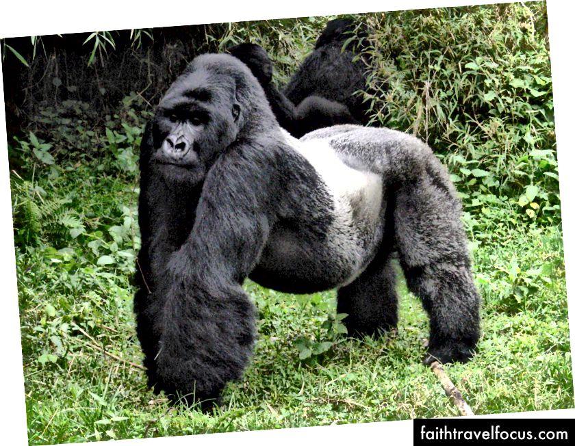 Сільвербек горила в національному парку Вірунга в Північній провінції
