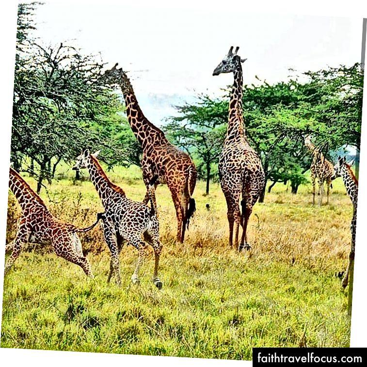 Жирафи в національному парку Акагера