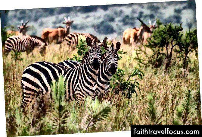 Зебри та інші тварини в національному парку Акагера