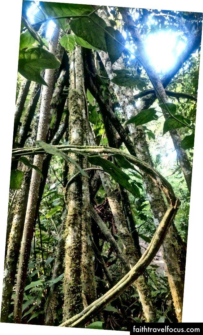 La palmera que camina (пішохідне дерево)