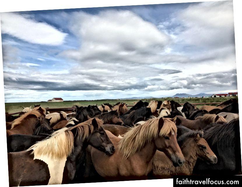 Mares và ngựa con. Hvolsvöllur, Iceland - Tháng 7 năm 2017. Ảnh của tôi.
