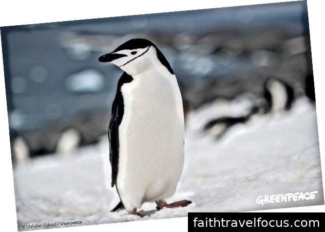 Пінгвін Chinstrap в Антарктиці, 17 січня 2018 року