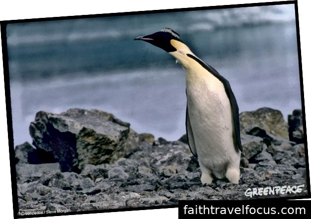 Імператор Пінгвін в Антарктиці, 1 січня 1989 року
