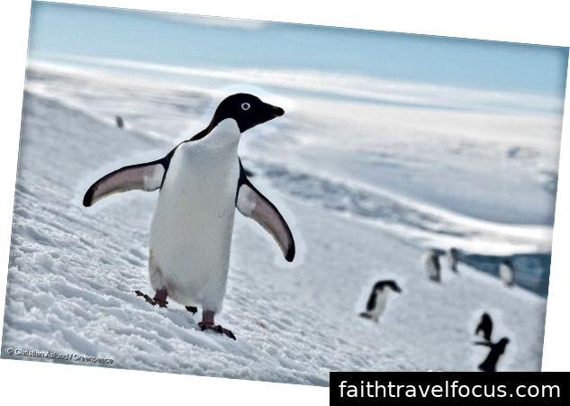 Antarktika'daki Adélie penguen kolonisi, 17 Ocak 2018