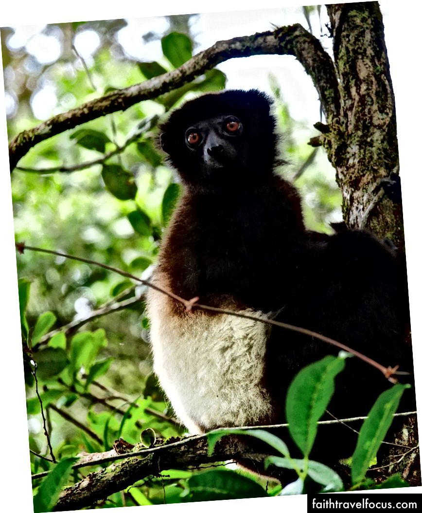 Milne-Edwards xông sifaka trong Công viên quốc gia Ranomafana | © Vaughn Lewis / Chuyến đi văn hóa