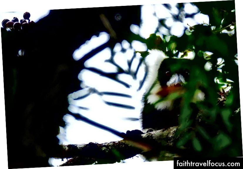 Một con vượn cáo lông đen và trắng hoang dã lặng lẽ ngồi trong tán rừng nhiệt đới | © Vaughn Lewis / Chuyến đi văn hóa