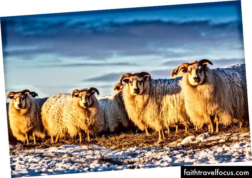 Ісландські вівці, Вогар