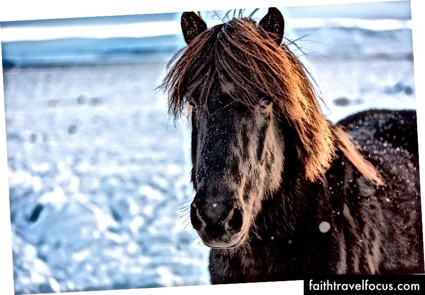 Ісландський кінь у Боргарфьордурі