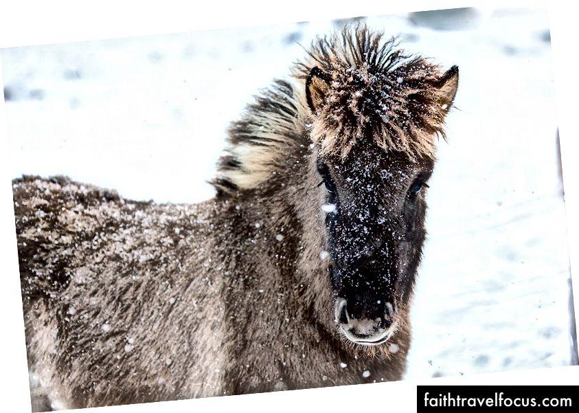 Ісландський дитячий кінь у Боргарфьордурі