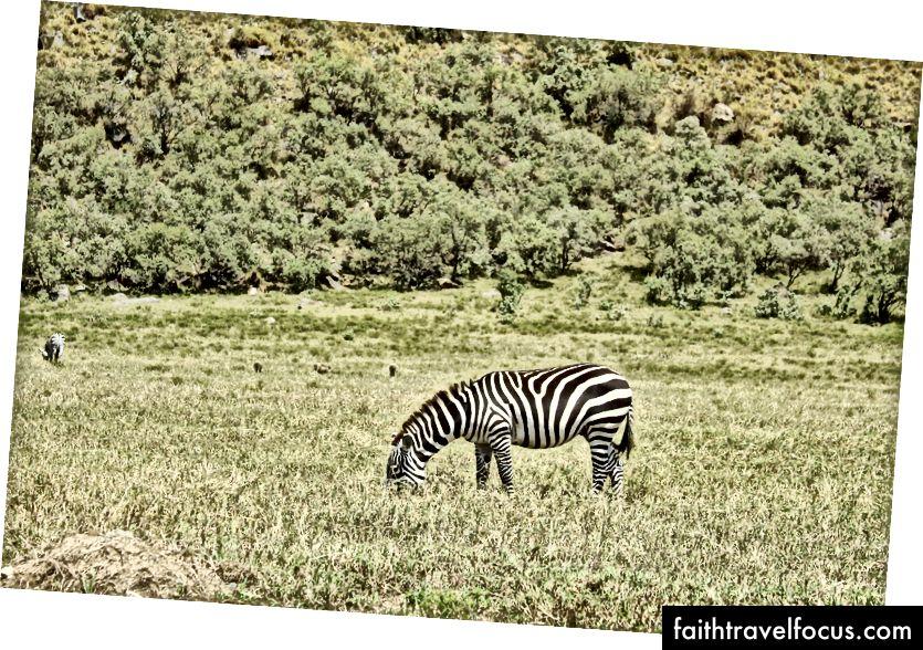 Ngựa vằn rất đẹp.