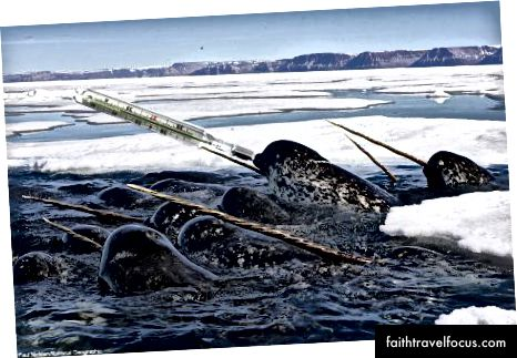 Narwhals Trong Baffin Bay của nhà nghiên cứu chính Kristin Laidre.