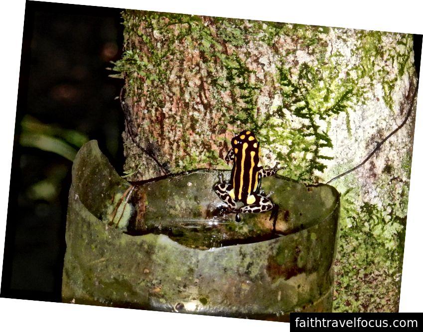 Ếch độc nhỏ trong lưu vực sông Amazon