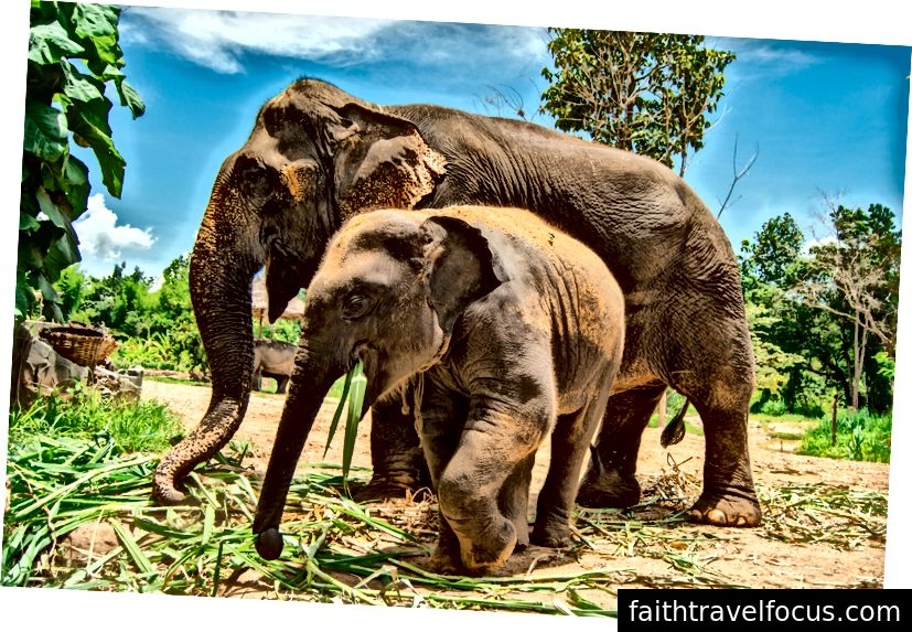 Một con voi cái Sri Lanka 40 tuổi ăn cỏ với một con voi Ấn Độ 2 tuổi. Có 4 phân loài được công nhận của voi châu Á; Người Ấn Độ (từ lục địa), Sri Lankan và hai người Indonesia (từ các đảo Sumatra và Borneo). Voi châu Á không thể giao phối với voi châu Phi vì chúng thuộc một chi khác. Tín dụng hình ảnh: Aydin Adnan