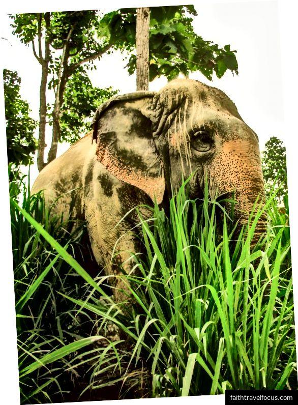 Một trong những con voi SMR hướng về phía dòng sông qua đám cỏ rất cao. Cỏ mang lại ấn tượng như đang ở trong một khu rừng như trong ảnh. Tín dụng hình ảnh: Aydin Adnan
