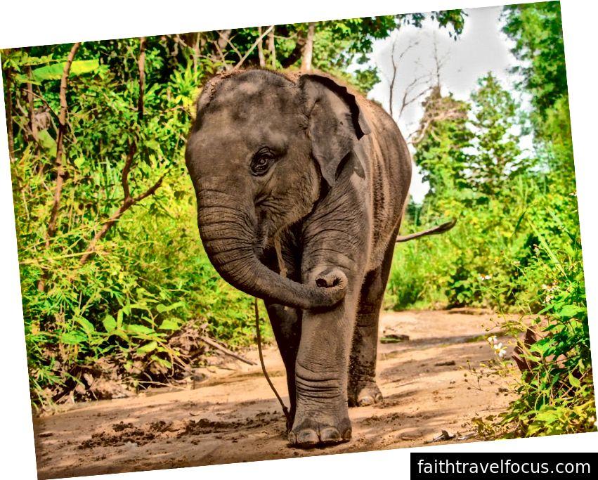 Con voi con duy nhất tại SMR, 2 tuổi rưỡi, đi bộ qua dòng sông khô cạn. Anh ta sẽ liên tục kéo sợi dây quanh cổ trong nỗ lực hoàn tác và / hoặc gỡ bỏ nó. Khách du lịch được cho biết rằng những sợi dây giúp hướng dẫn những con voi, nhưng tôi sợ chúng được sử dụng để buộc chúng vào ban đêm. Tín dụng hình ảnh: Aydin Adnan