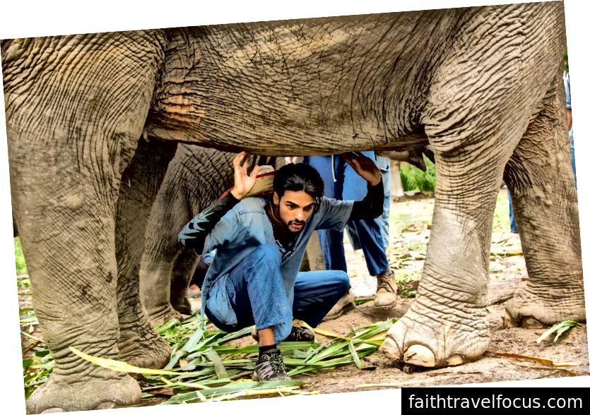 Trong văn hóa Thái Lan, nó được coi là may mắn khi bò dưới một con voi. Là một hướng dẫn viên du lịch, tôi sẽ mời những khách du lịch sẵn sàng đi theo sự dẫn dắt của tôi. Tôi thường thấy mình hối hận vì điều này tôi chắc chắn rằng nó làm cho những con voi không thoải mái. Tín dụng hình ảnh: SMR