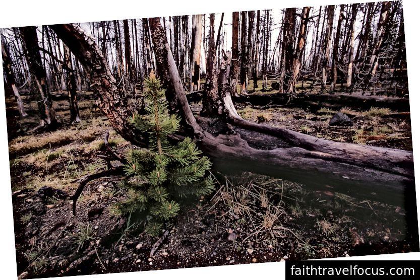 Cây giống cây thông Lodgepole liền kề với lodgepole bị đốt cháy trưởng thành; Jim Peaco; Tháng 7 năm 1998; NPS.gov