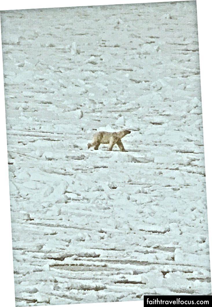 Một con gấu Bắc cực đang tìm kiếm một con dấu. Lấy từ một chuyến đi riêng tôi đã thực hiện đến Svalbard